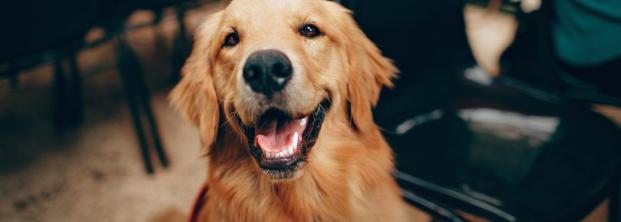Więcej niż przyjaciel – pies asystent i jego przygotowanie do pracy
